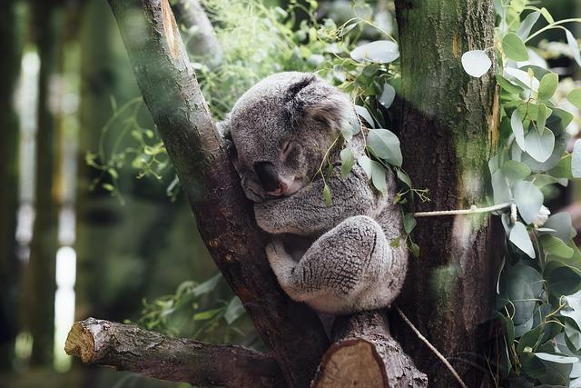 Koalas bekommen Schluckauf